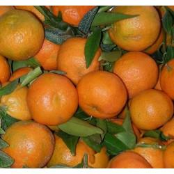 Cassetta Clementine NOVA Bio da 16 KG senza il nocciolo