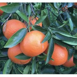 Cassetta Mandarini biologici da 10 KG