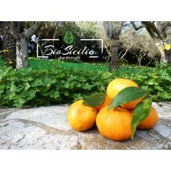 Mandarino Tardivo di Ciaculli BIO cassetta da Kg.15