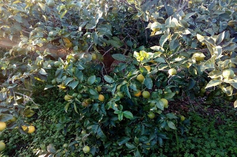 Limoni Biologici Sicilia